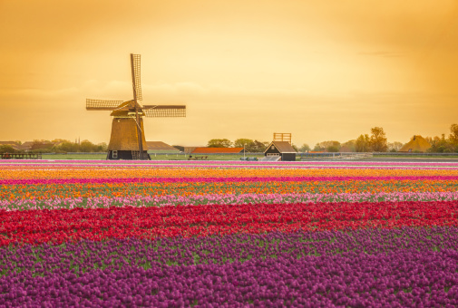 Netherlands「Dutch Windmill and tulips in a field during spring」:スマホ壁紙(1)