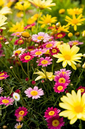 花畑「カラフルなマルグリット daisies」:スマホ壁紙(8)