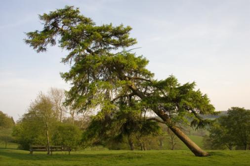 Tim Graham「Leaning Conifer Tree, Chedworth, UK」:スマホ壁紙(17)