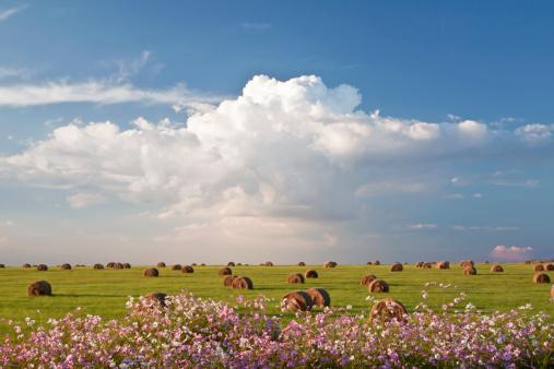 コスモス「Harvest fields with cosmos flowers in foreground, South Africa」:スマホ壁紙(14)