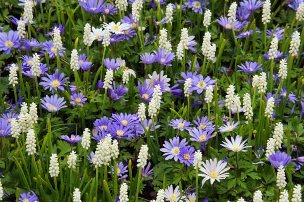 Grecian windflower and common grape hyacinth:スマホ壁紙(壁紙.com)