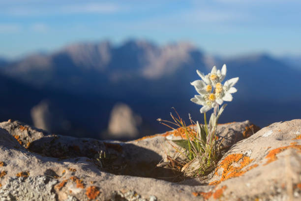 Edelweiss with Mountain in background - Alps:スマホ壁紙(壁紙.com)