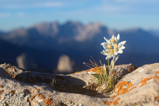 Alto Adige - Italy「Edelweiss with Mountain in background - Alps」:スマホ壁紙(15)