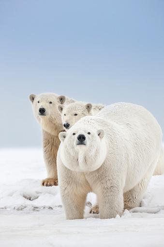 Arctic National Wildlife Refuge「Curious polar bear and cubs」:スマホ壁紙(18)