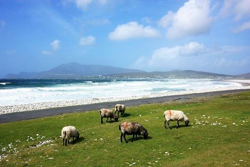 アキル島「Keel, Achill Island, County Mayo, Ireland; Beach at Keel with sheep grazing by the shore」:スマホ壁紙(14)