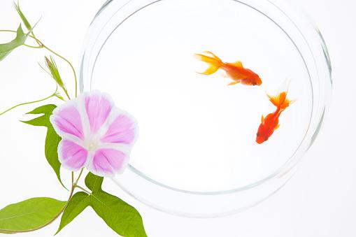 朝顔「Goldfish and Morning Glory Flower」:スマホ壁紙(8)