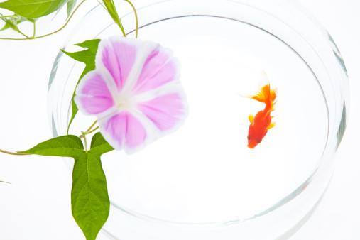 アサガオ「Goldfish and Morning Glory Flower」:スマホ壁紙(6)