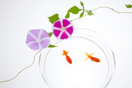 朝顔「Goldfish and Morning Glory Flower」:スマホ壁紙(13)