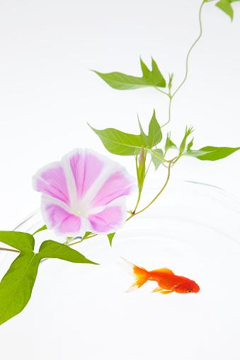 朝顔「Goldfish and Morning Glory Flower」:スマホ壁紙(6)