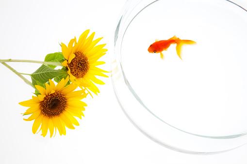 ひまわり「Goldfish and Sunflowers, High Angle View」:スマホ壁紙(3)