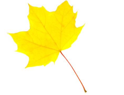紅葉「Perfect Yellow Maple Leaf」:スマホ壁紙(14)