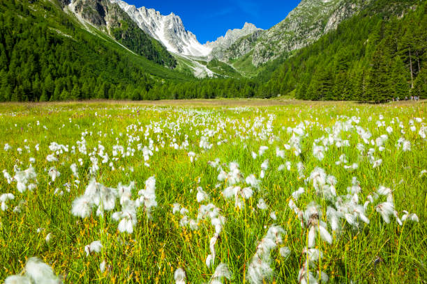 Cottongrass (Eriophorum) in a field in Arpette Valley under blue sky with mountain pass 'Fenetre d'Arpette' in the background:スマホ壁紙(壁紙.com)