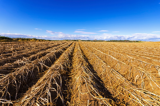 East Lothian「UK, Scotland, East Lothian, field of potatoes ready for harvesting」:スマホ壁紙(5)