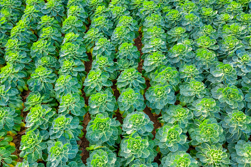 East Lothian「Scotland, East Lothian, Field of brussels sprouts (Brassica oleracea)」:スマホ壁紙(14)