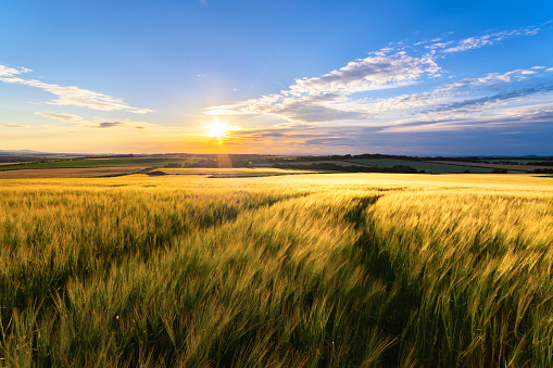 Scotland「UK, Scotland, East Lothian, field of wheat at sunset」:スマホ壁紙(13)