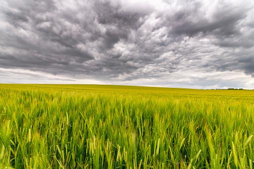 East Lothian「UK, Scotland, East Lothian, field of barley」:スマホ壁紙(10)
