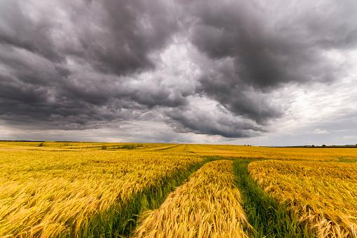 East Lothian「UK, Scotland, East Lothian, field of barley with tractor tracks」:スマホ壁紙(18)