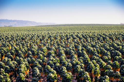 Cabbage Family「UK, Scotland, East Lothian, Brussels Sprout field」:スマホ壁紙(12)