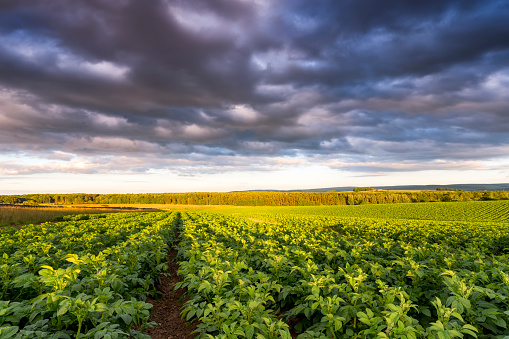 East Lothian「UK, Scotland, East Lothian, potato field」:スマホ壁紙(18)