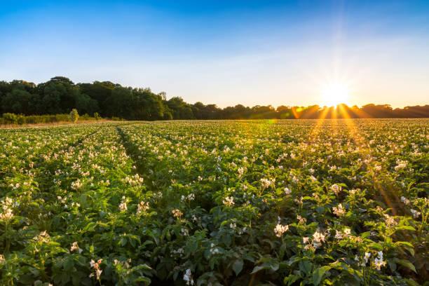 UK, Scotland, East Lothian, potato field at sunset:スマホ壁紙(壁紙.com)