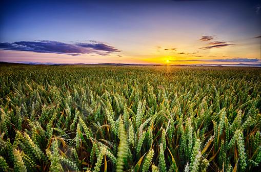 East Lothian「Scotland, East Lothian, sunset over wheat field」:スマホ壁紙(4)