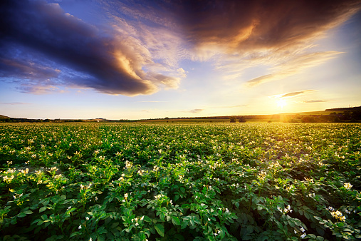 Vegetables「Scotland, East Lothian, sunset over potato field」:スマホ壁紙(18)