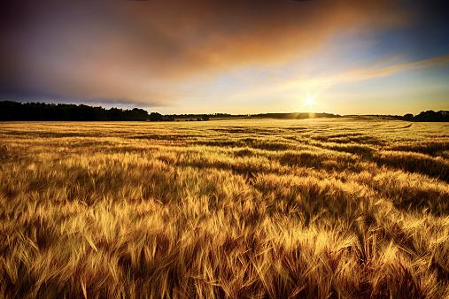 East Lothian「Scotland, East Lothian, sunrise over barley field」:スマホ壁紙(5)