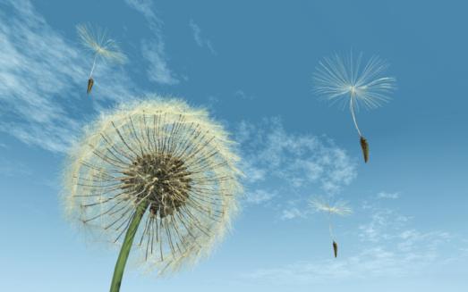 タンポポ「Dandelion gone to seed, some seeds fly away」:スマホ壁紙(16)