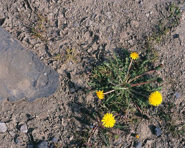 たんぽぽ「Dandelion growing on brownfield site」:写真・画像(8)[壁紙.com]