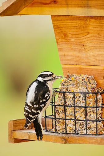 Bird Seed「Downy woodpecker (picoides pubescens) eating seed at a bird feeder」:スマホ壁紙(7)