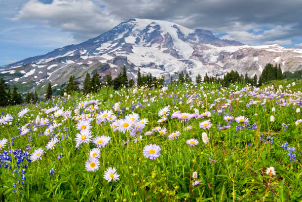Mount Rainier and a Meadow of Aster:スマホ壁紙(壁紙.com)