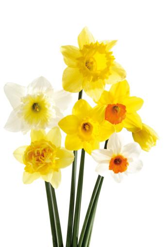 水仙「'Daffodils, close-up'」:スマホ壁紙(3)