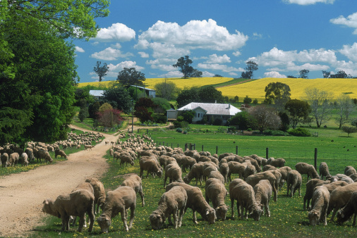 Rolling Landscape「Sheep, canola, homestead, Murrumburrah area, NSW」:スマホ壁紙(15)