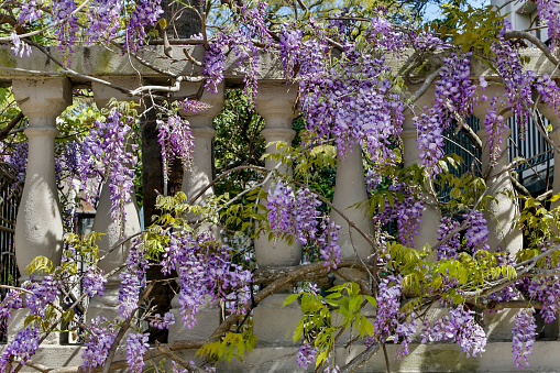 小枝「Wisteria (Wisteria) growing on column fence in downtown Charleston, South Carolina, USA」:スマホ壁紙(6)