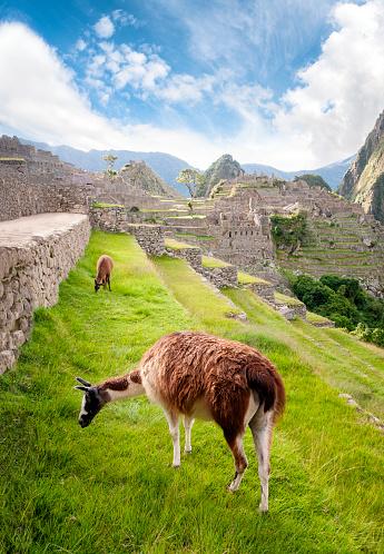 Peruvian Culture「Llamas Graze On The Terraces At Machu Picchu In Peru」:スマホ壁紙(18)