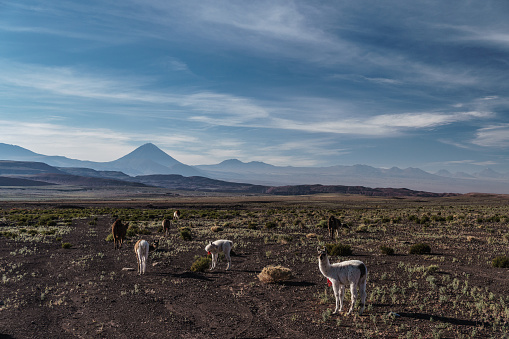 Animal「Llamas grazing on semi-fertile volcanic ground, Atacama Salt Flats, with volcanic peaks in the background near San Pedro de Atacama, Chile」:スマホ壁紙(1)