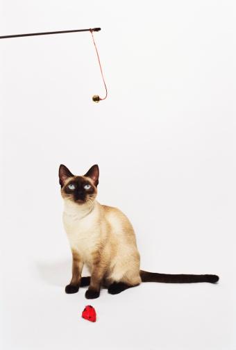 シャムネコ「Playing with cat」:スマホ壁紙(3)
