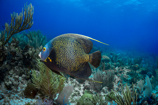 The Nature Conservancy「French angelfish (Pomacanthus paru)」:スマホ壁紙(5)
