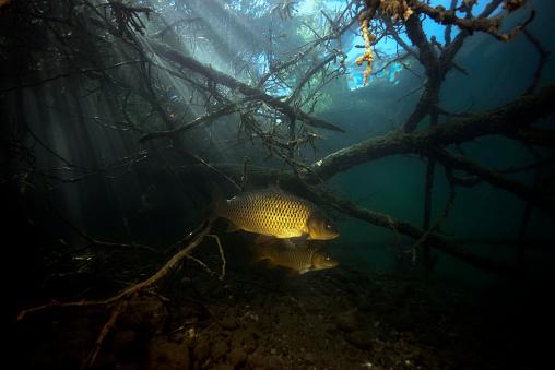 Carp「Austria, Carinthia, Common carp in Weissensee」:スマホ壁紙(14)