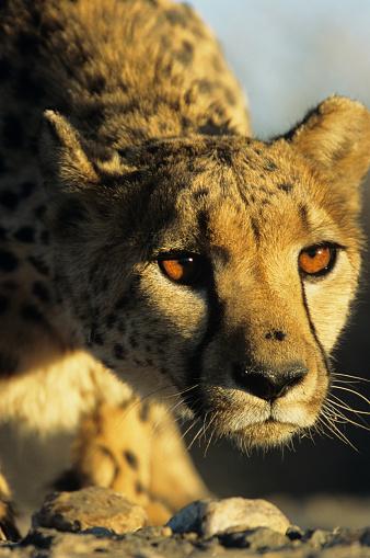 Crouching「Cheetah, headshot」:スマホ壁紙(16)
