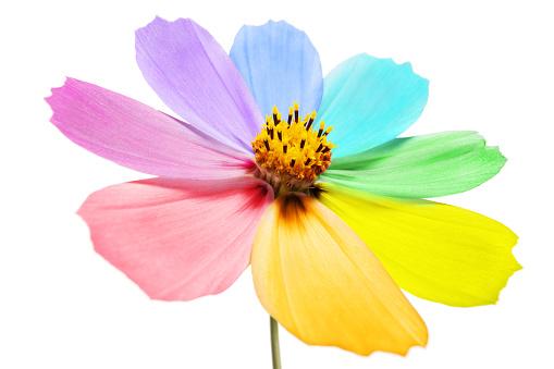 コスモス「マルチカラーの花びら」:スマホ壁紙(4)