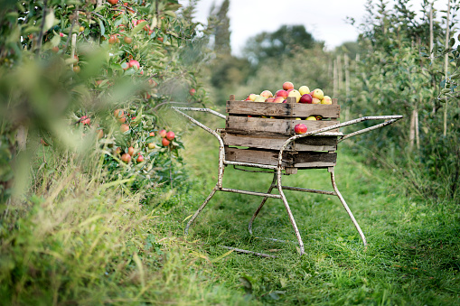 Apple Tree「Crate with apples in orchard」:スマホ壁紙(9)