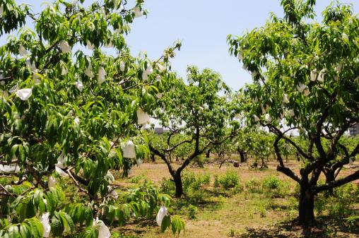 Peach「Peach Orchard」:スマホ壁紙(15)