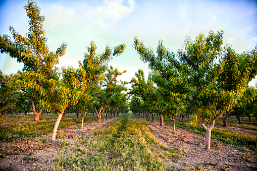 Harvesting「Peach orchard trees in Palisade, Colorado」:スマホ壁紙(2)