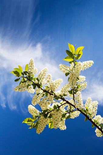 桜「Low angle looking up at a flowering Mayday tree with blue sky and clouds」:スマホ壁紙(3)