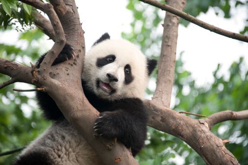パンダ「若いパンダ」:スマホ壁紙(12)