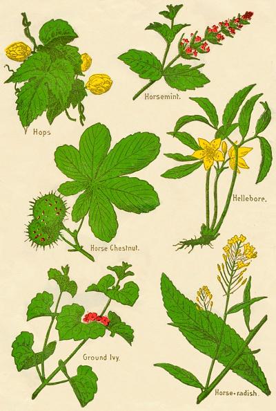 葉・植物「Flowers: Hops, Horsemint, Horse Chestnut, Hellebore, Ground Ivy, Horse-radish, c1940」:写真・画像(14)[壁紙.com]