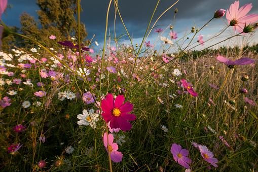 コスモス「A Wonderland of Wildflowers, all the colors possible of Cosmos (Bidens formosa) wildflowers at Sunset, Magaliesburg, Gauteng Province, South Africa」:スマホ壁紙(5)