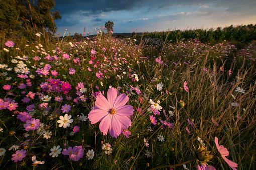 コスモス「Wonderland of Wildflowers Landscape, Cosmos (Bidens formosa) wildflowers at Sunset, Magaliesburg, Gauteng Province, South Africa」:スマホ壁紙(9)