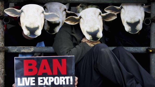 動物「Animal Rights Protest Highlights Cruelty In Live Exports」:写真・画像(2)[壁紙.com]